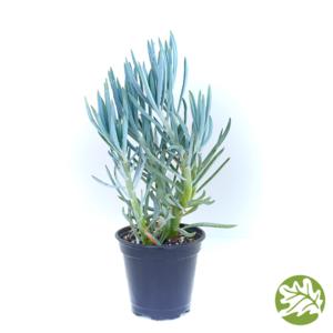 "SENECIO Blue Large 4"" pot #3739"